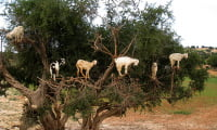 goats in argan tree South of Morocco