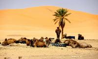 Camels resting after camel trek in Oasis in Sahara Desert southern Morocco